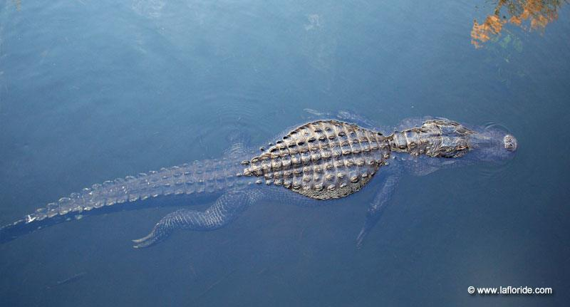 Alligator aux Everglades en Floride