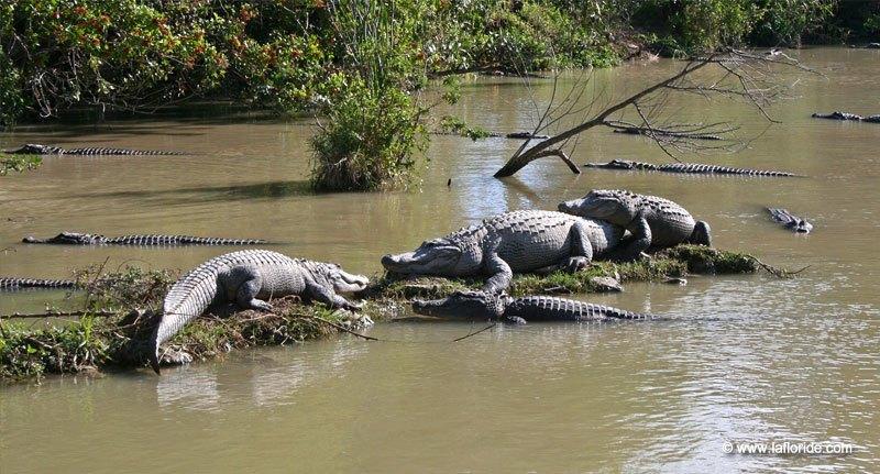 Les fermes d 39 levage d 39 alligators en floride for Attaque de crocodile dans une piscine